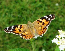 220px-Butterflies_of_Kerala_Painted_Lady